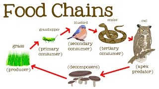 Food Chains for Kids: Food Webs, the Circle of Life, and the Flow of Energy - FreeSchool