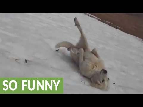 Xxx Mp4 Dog Repeatedly Slides Down Icy Hill 3gp Sex