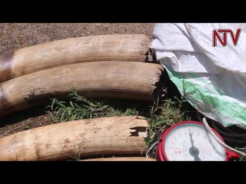 Eight in Fort Portal arrested in possession of 20kg of elephant tusks