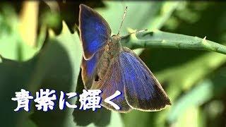 【青紫色に輝く】Shining in the blue-violet 、Butterfly, Shizimi 珍しい光景、ムラサキシジミ蝶が羽を広げてくれました。