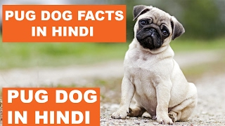 Pug Dog Facts In Hindi | Dog Facts | Popular Dogs | The Ultimate Channel