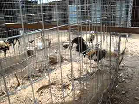 gallos en venta baratos