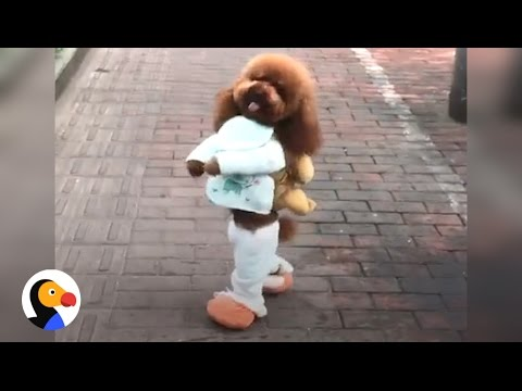 Xxx Mp4 Dog Walking On Two Legs IS NOT CUTE Here S Why The Dodo 3gp Sex
