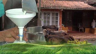 നഗരമധ്യത്തിലെ ഡയറി ഫാം - Nattupacha