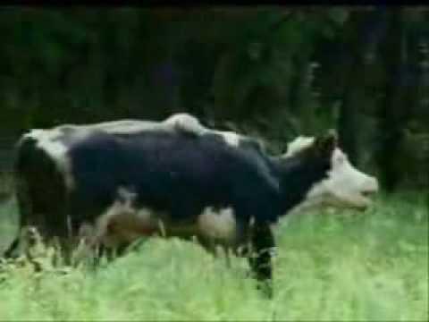 KAPLAN İNEK AVLIYOR Tiger cow Vaca tigre Tijger mucca