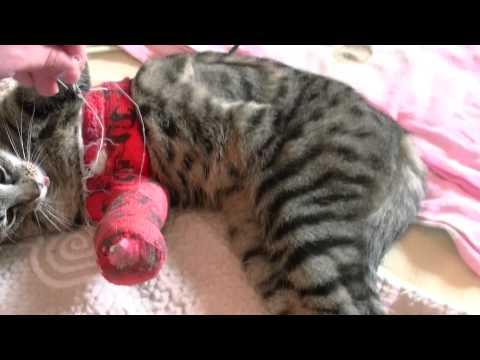Kocica Burcia z Czerwonym Gipsem na łapie