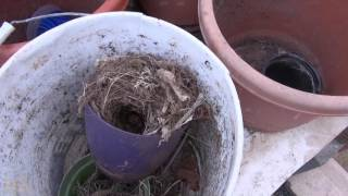 ⟹ UPDATE, look what i found in the greenhouse! BABY BIRDS! 4/27/2017 #birds pt2