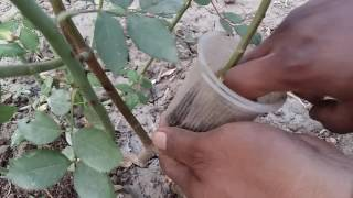 87_How to grow Roses || Rose air layering ||| new idea make a rose plant