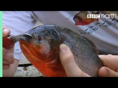 Xxx Mp4 Fishing For Red Bellied Piranha Ultimate Killers BBC 3gp Sex