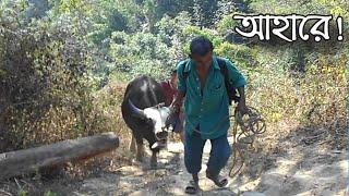Goyal - গয়াল ll A gayal bull in Bangladesh ll Beautiful Bangladesh ll Traveler SaFa ll