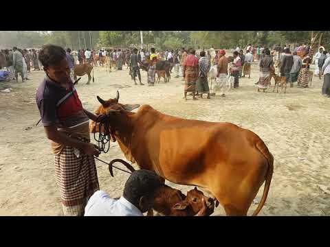 Xxx Mp4 727।গাভি গরুর দাম দেখুন Good Quality Cow Videos 3gp Sex