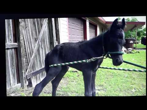 Horse Imprinting Foal Abuse 12 Hour Old Colt Tied Up & Ripped Away From Mom