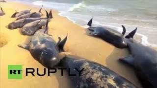 India: Dozens of beached whales die as hundreds wash up on Tamil Nadu coast