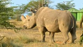 Last Male Northern White Rhino - DW NEWS - Report by Jenni Graham and Killian Bayer