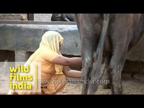 Indian village woman milking buffalo by hand, Uttar Pradesh