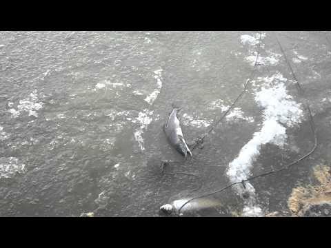 сети на белом море видео