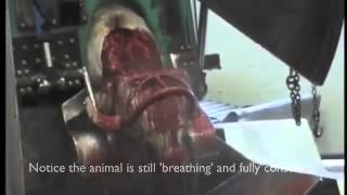 Halal Slaughter -  not viewing for under 18