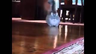 short legs cat Munchkin, very funny short cat