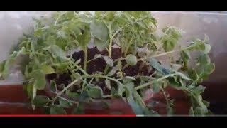خطوات زراعة وحصاد البطاطا في المنزل  Grow potatoes at home