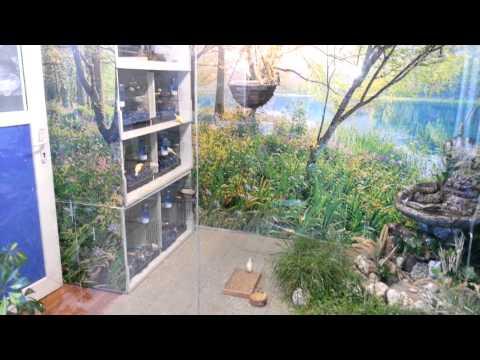 Gouldian finch salma
