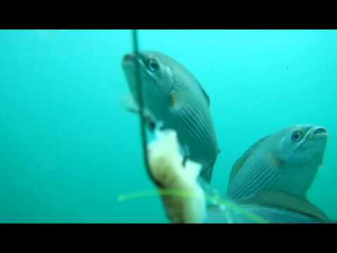 Fish Eating Squid Under The Dania Beach Pier