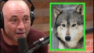 Joe Rogan - Wolves Don't Mess Around!
