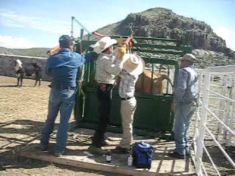 Rancho De Polo Urias en Chihuahua Vacunando las vacas Polo y Raul Urias
