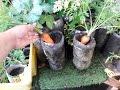 Download Video Download Colhendo cenouras plantadas em garrafa pet  (parte3 FINAL) 3GP MP4 FLV