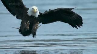 Bald Eagle catches salmon