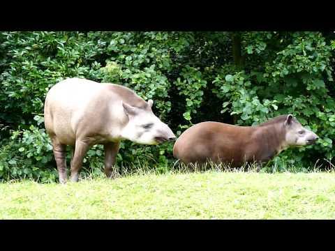 Gaiazoo Braziliaanse tapir 2010