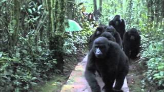 Touched by a Wild Mountain Gorilla (HD Version)