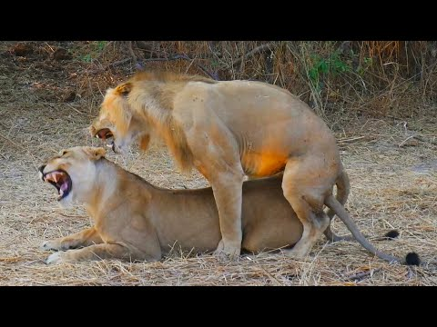 Lions Mating Like Crazy! (Close Up Footage)