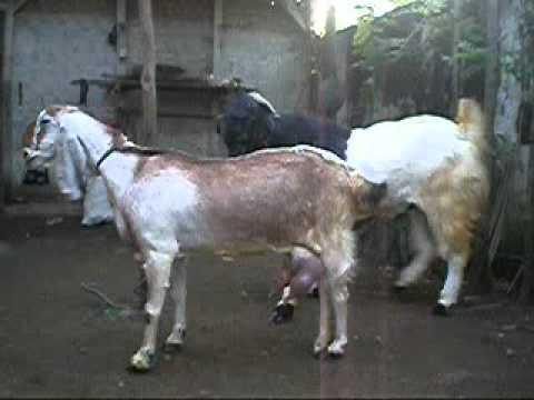 Etawa Goat mating 2