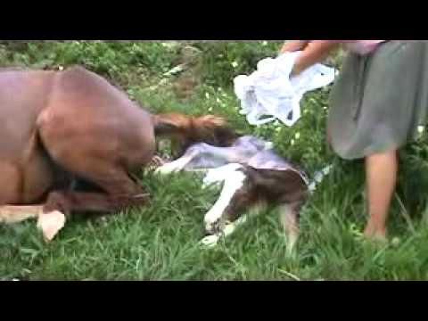 Nascimento de cavalo parteira Naia