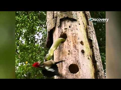 Woodpecker Fights Furiously With Snake | SNAKETACULAR