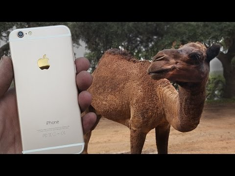 Camel vs iPhone