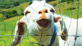 Funny Goats 2017 🐑 🐐 GOATS Making Funny Sounds and Noises [Funny Pets]