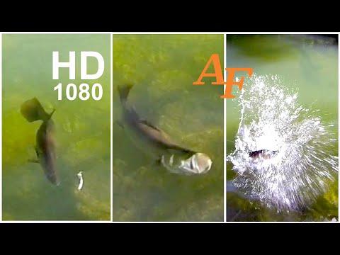 Xxx Mp4 Fishing Video Best Barramundi Barra Strike Ever Fish Soft Plastic Andysfishing EP 124 3gp Sex