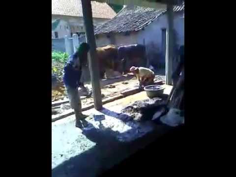 Pagi2 udah ngentot di kandang sapi