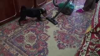 Est Etiam - Airedale R Litter, 8 Weeks  &  Vacuum Cleaner