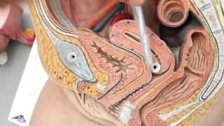 Giải phẫu cơ quan sinh dục nữ