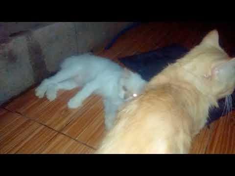 Kucing kawin sperma muncrat