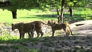 Sony HX400V Lion Cubs 50X Video Sample