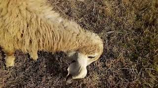 Sheep farming in Urdu/Hindi / feed formula for sheeps / How to grow lambs / bhair bakri palna