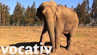 Ramba The Elephant, After Years of Captivity, Finally Has Chance At Sanctuary