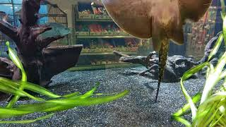 Stingray...шипохвостий скат