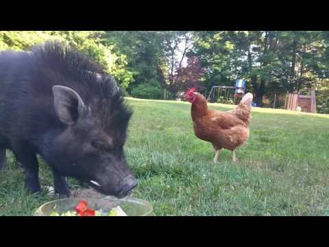Xxx Mp4 Six Year Old Girl Tames Wild Boar With A Salad And Belly Rub 3gp Sex