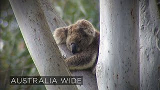 Koalas face extinction within 50 years