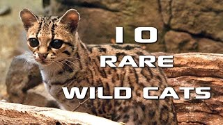 10 Rare Wild Cats You've Never Heard Of: Creature Countdown - FreeSchool