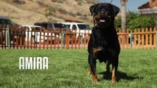 PROFESSIONAL ROTTWEILER BREEDER EXPLAINS DIFFERENCE BETWEEN GERMAN AND AMERICAN ROTWEILLERS